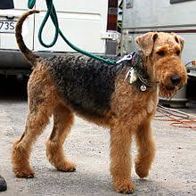 Airedale Weight Chart Airedale Terrier Wikipedia