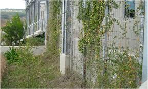 Vines. : vines growing ...