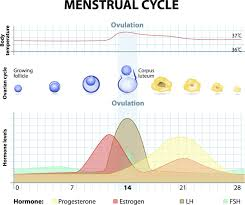 Standard Menstrual Cycle Chart Acupuncture Painful Menstruation Relief Finding
