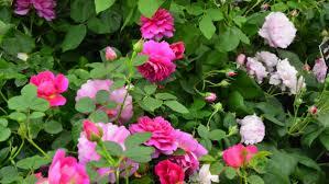 Billedresultat for rosenbed med mange farver