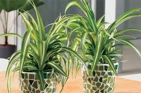 One of the best air-purifying plants, it gets to work quickly, removing  upto 90% of toxins in two days time.