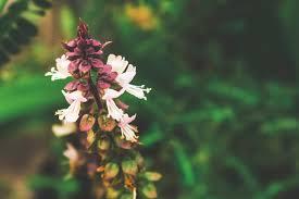 tulsi holy basil flower herb