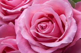 nature plant flower petal love rose pink flora flowers roses family tender floribunda macro photography flowering
