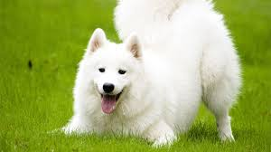 fluffy white husky puppy. Interesting White Samoyed Or Bjelkier As Itu0027s Called In Europe Are Often Compared To Huskies  These White Fluffy Dogs Very Friendly And Donu0027t Like Be Alone Inside Fluffy White Husky Puppy L