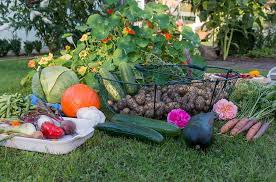 but before it does there is still the autumn and many people can manage to squeak another batch of fall vegetables out at this time of year