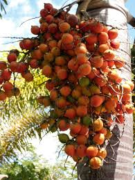 160 Best Palm Trees Images On Pinterest  Palm Trees Seeds And PalmsPalm Tree Orange Fruit