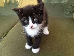 black and white kittens with blue eyes for sale. Black And White Blue Eyes Little Kitten For Sale He Already Eats Cat Food Its The Last One Of Kittens My Big Have  Fe In With