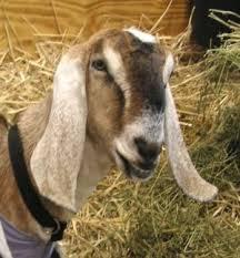 Goat Breeds Nubian Goats