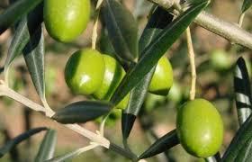 Резултат с изображение за маслина дърво