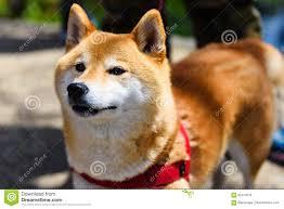 Cucciolo Di Cane Di Razza Giapponese Immagine Stock ...