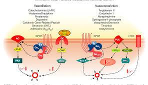 Gpcr Signaling Regulation Of Gpcr Signaling In Hypertension Semantic Scholar