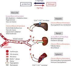 Hemolysis and free hemoglobin revisited: exploring hemoglobin and ...