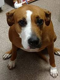 meet gretchen a dog for adoption s