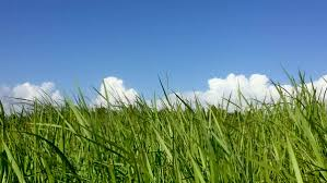 tall green grass field. Low Angle Of A Field Tall Grass Blowing In The Wind And Clear Blue Sky With Fluffy White Clouds - Stock Video Footage Dissolve Green