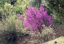File:Cercis siliquastrum - Erguvan 05.jpg - Wikimedia Commons