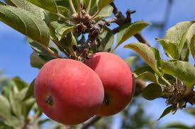 Stayman Winesap Kansas 1866  3995  Trees Of Antiquity Fruit Trees In Kansas