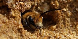ground dwelling bees eliminating ground nesting bees recommended methods progardentips