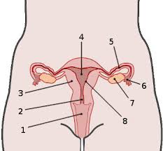 Female Reproductive System Chart Free Anatomy Quiz The Anatomy Of The Female Reproductive