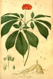 American Ginseng Wikipedia