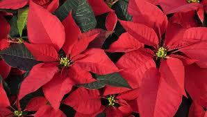 Weihnachtsstern So Hält Er Das Ganze Jahr Buntede