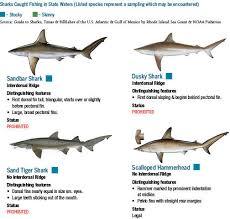Shark Identification Chart Cool Wallpaper Ideas