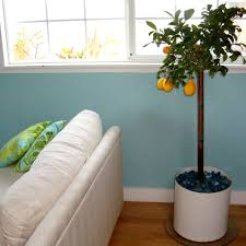 Best Grow Light For Citrus Tree How To Plant And Keep An Indoor Lemon Tree Apartment Therapy