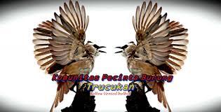 Seperti untuk isian suara burung kenari, kacer dan jenis burung kelas kontes lalinnya. Komunitas Pecinta Burung Trucukan Burung Trucukan Merbah Jog Jog Crucukan Yellow Vented Bulbul Pycnonotus Goiavier
