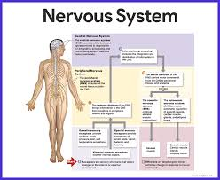 Flow Chart Of Nervous System In Human Beings Nervous System Anatomy And Physiology Nurseslabs