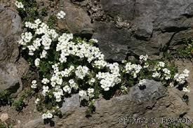Arabis scopoliana - UNIVERSITY BOTANIC GARDENS LJUBLJANA