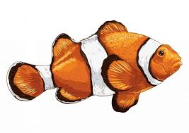 Clownfish Varieties 9 Most Popular Clownfish For The Home