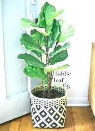 large indoor plant pots decorative fiddle tall uk