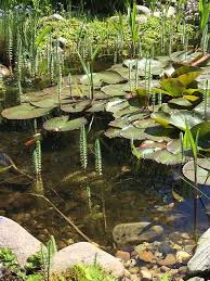 pond plants mid summer is the ideal time to add new plants to your garden pond pond plants come in 3 basic types marginal oxygenating and deep water