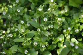 this annual weed can be most easily identified by its tiny pointed oval un toothed leaves and its slender delicate stems with tiny white flowers