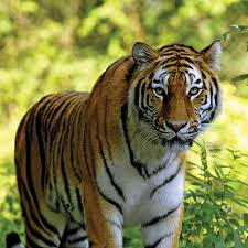 images of tigers. Simple Tigers See Tigers In The Jungles Of Pench Which Inspired Rudyard Kipling  Inside Images Of Tigers E