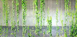 Climbing Plants On Jakob Stainless Steel Ropes  MMA  Cameras And Wall Climbing Plants