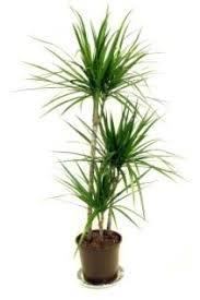 tall office plants. dragon tree dracaena care marginata tall house plants identify office r