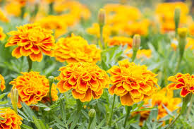 10 easy annual flowers to start from seeds