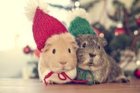 cute animal christmas backgrounds. Perfect Animal Animals Animal Genuine Pig Christmas Time Wallpaper  2048x1365 549094  WallpaperUP With Cute Animal Backgrounds I