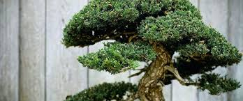 office bonsai. Glamorous Bonsai Tree For My Office The Gift That Keeps Growing Space Plant E