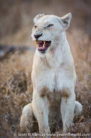 white lioness with blue eyes. Brilliant Lioness The Lioness Looks Like She Is Growling But Sheu0027s Finishing Off A Yawn And White Lioness With Blue Eyes I