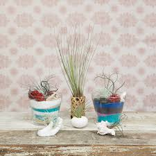 air plant selection air plants are low maintenance and unique gifts es with two