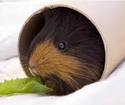 diy guinea pig toys guinea pig toys you can make at home