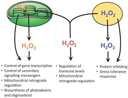 Venn Diagram Of Mitochondria And Chloroplasts Spatial H2o2 Signaling Specificity H2o2 From Chloroplasts