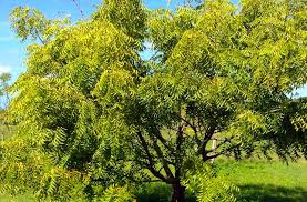 the neem tree a miracle plant ezgro garden the neem tree a miracle plant
