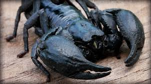 how do you kill a scorpion. Delighful Scorpion Scorpion Venom Sheds Light On How To Kill Cancer Throughout Do You A