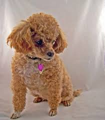 eye problems are a primary health issue for poodles