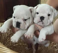 healthy english bulldog puppies available text 208 490 8964