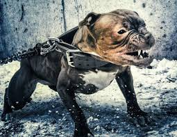 mean pitbull dogs fighting. Contemporary Mean Game Bred Pit Bull Photos Inside Mean Pitbull Dogs Fighting M