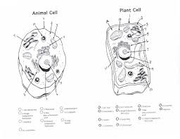 Small Picture Blank Diagram Of Plant Cell And Animal Cell Image Gallery HCPR