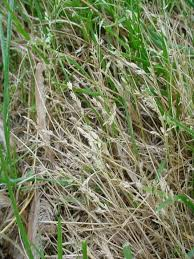 Brown Patch Disease All Brown Patches In Lawn Not From Brown Patch Disease
